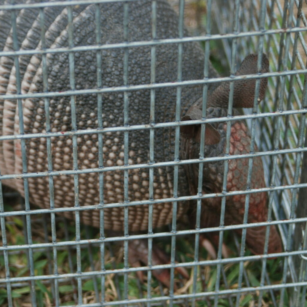 Armadillo Removal and Control