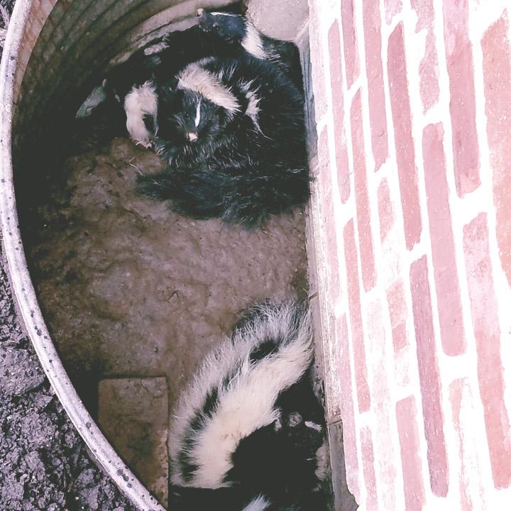 Repair damage from skunks in Houston
